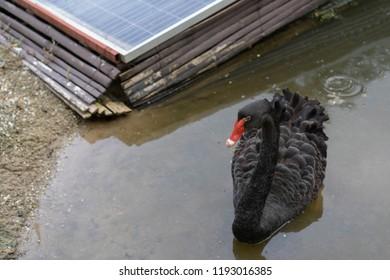 Black Swan In the pool