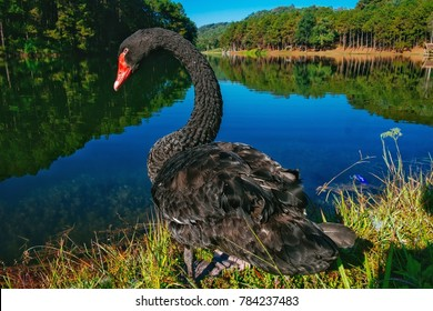Black swan swimming in lake ,in front of mountains,Mae hong son,Thailand