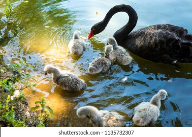 Black swan swimming with its six cubs on the lake of Ibirapuera Park, Sao Paulo, Brazil