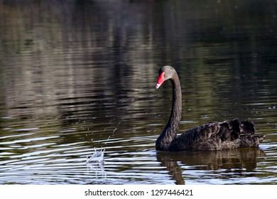 Black swan, symbol of unexpected, turns at splash reflecting calm at sudden change