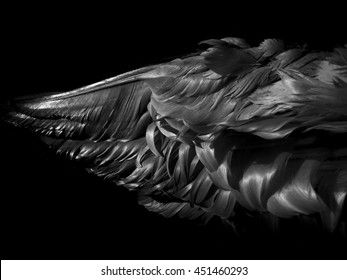 black swan wing on a black background