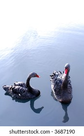 Black swans for background post card