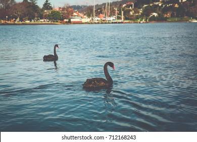 Black Swans - Launceston, Tasmania, Australia