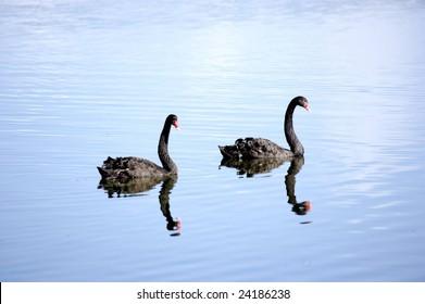 Black swans in New Zealand