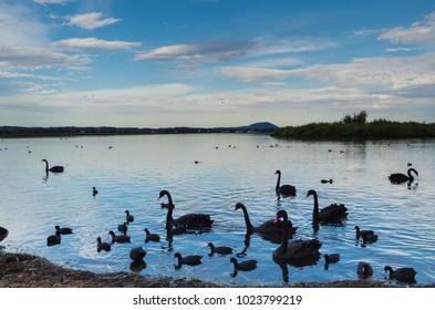 Black swans on the shore of Lake Wendouree in Ballarat Australia