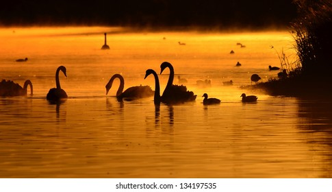 Black Swans silhouetted against the sunrise over wetlands