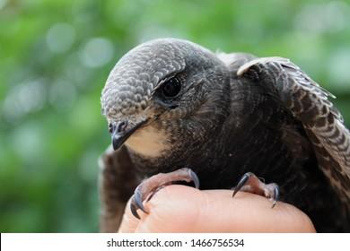 black swift chick оn the hand