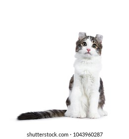 Black tabby with white American Curl cat / kitten sitting straight up with long tail and paw lifted isolated on white background.