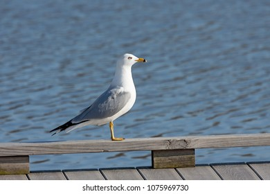 Black tail, gray wings, white breast and black ring around its yellow bill, a gull profiles itself on a  lakeside dock.