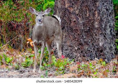 Black Tailed Deer, Doe. Northern Cascades National Park, Washington State.