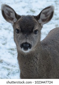 Black tailed deer fawn standing in snow, on, Denman Island, BC, Canada