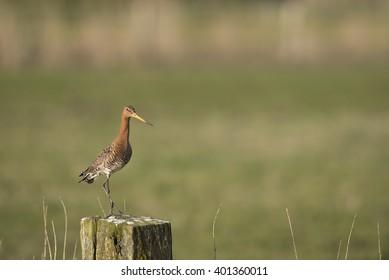Black tailed godwit - grutto - limosa limosa
