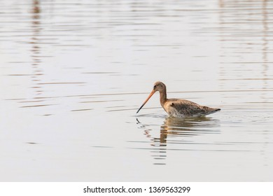 Black Tailed Godwit (Limosa limosa) Wader Bird Foraging in shallow water