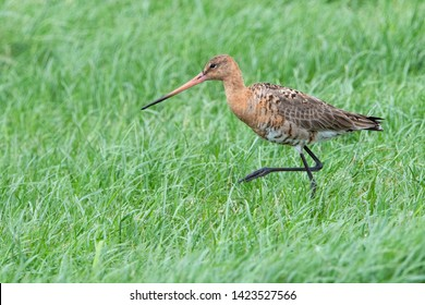 Black tailed Godwit protecting their chicks in meadow en the Netherlands.