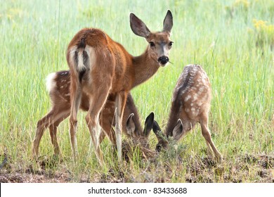 Black Tailed Mule Deer Doe and Fawns