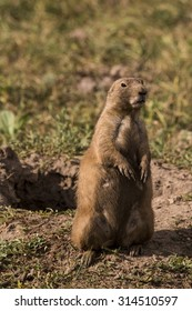 Black tailed prairie dog (Cynomys ludovicianus ) - Custer State Park, Black Hills, South Dakota