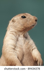 Black tailed prairie dog (Cynomys ludovicianus)portrait against a green background