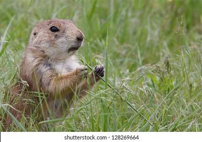 Black Tailed Prairie Dog feeding, Custer State Park, South Dakota Cynomys ludovicianus grassland habitat environment wildlife and nature photography Cynomys ludovicianus