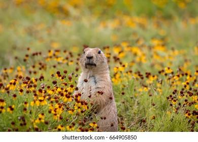 Black tailed prairie dog. Wichita Mountains, Oklahoma