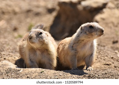 The black tailed prairie dogs