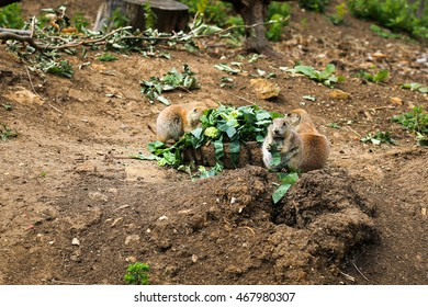 Black tailed prairie dogs eating broccoli Cynomys ludovicianus, Ground squirrels in a zoo