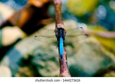 Black tailed skimmer dragonfly, Orthetrum cancellatum, Corbett National Park, Nainital, Uttarakhand.