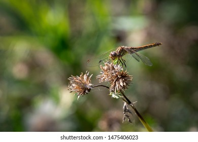 Black tailed skimmer female sitting