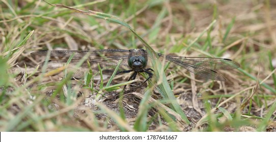 Black tailed Skimmer male facial portrait