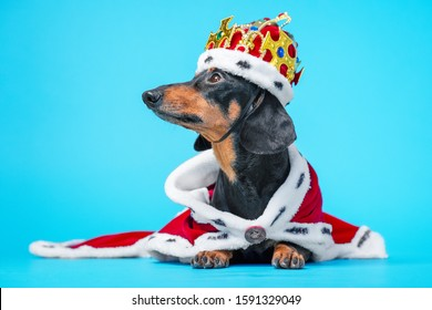Black and tan adorable dachshund dog in a royal mantle and a crown on blue background