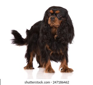 black and tan cavalier king charles spaniel dog standing