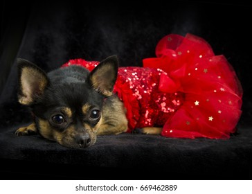 Black and tan Chihuahua laying down with red ruffled show girl sequined dress and a feathered black hat