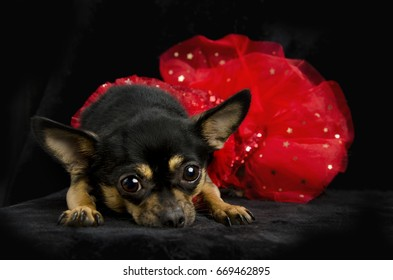 Black and tan Chihuahua laying down looking at the camera with red ruffled show girl sequined dress and a feathered black hat