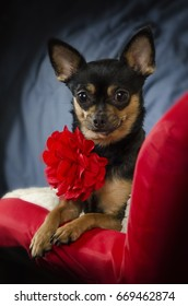 Black and tan Chihuahua posing with perky ears wearing a red carnation neck decoration on a red chair.