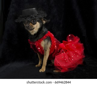 Black and tan Chihuahua sitting with red ruffled show girl sequined dress and a feathered black hat