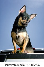 Black and tan chihuahua standing in the back of a vehicle on a sunny day enjoying the Summer heat.