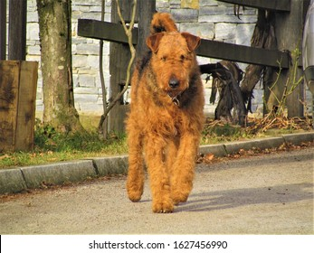 Black and tan colored airedale terrier, bingley terrier or waterside terrier purebreed dog walking towards the camera
