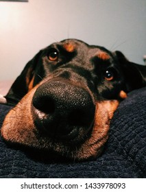 Black and Tan coonhound laying on a pillow