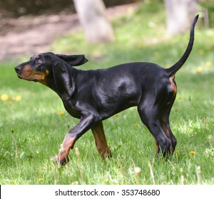 black and tan coonhound on the grass
