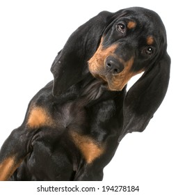 black and tan coonhound portrait on white background
