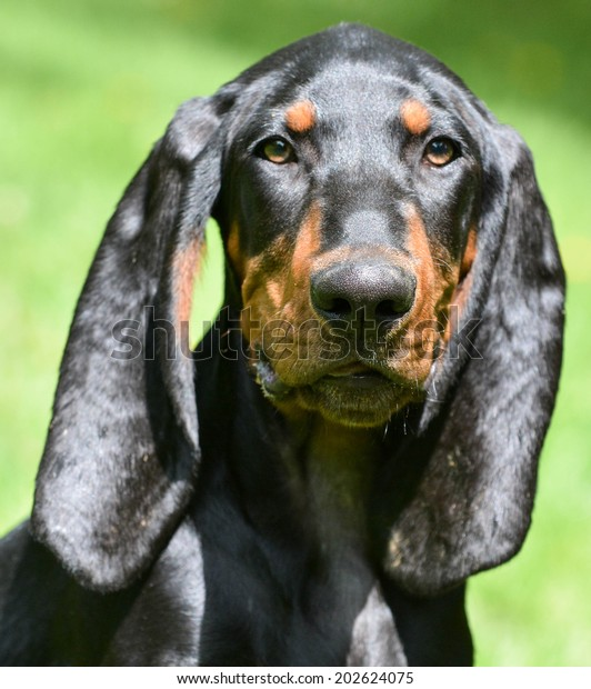 black and tan coonhound portrait outdoors