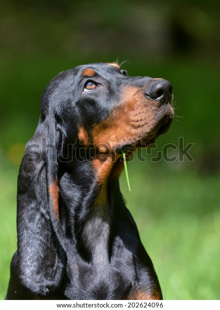 black and tan coonhound portrait outside in grass