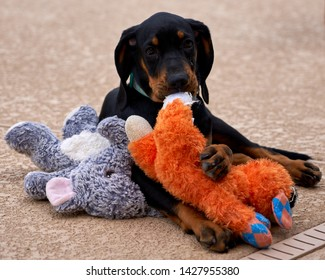 Black and Tan Coonhound with Toy
