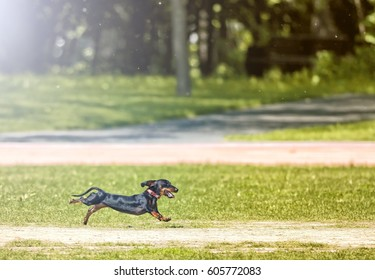 Black and tan Dachshund dog isolated silhouette running across grass field at city park animal pets theme background view