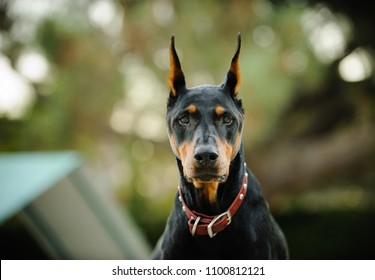 Black and tan Doberman Pinscher dog outdoor portrait with croopped ears