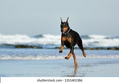 Black and tan Doberman Pinscher dog running on beach