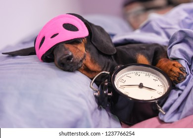 Black and tan dog breed dachshund sleep in bed with sleeping mask and alarm clock. Live with schedule, time to wake up.