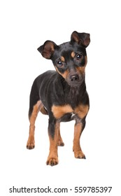 black and tan jack russel terrier in front of a white background