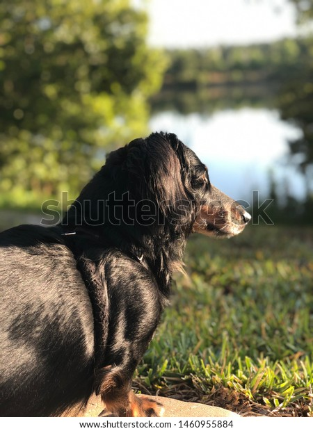 Black and Tan long hair dachshund sitting by the lake.
