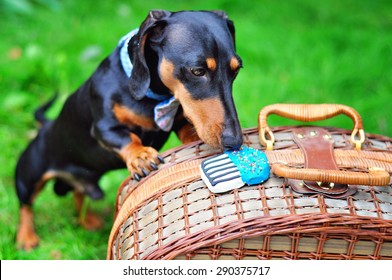 Black and tan miniature dachshund, dog wearing bow tie, having a treat, summer picnic on green grass outdoors, birthday party.