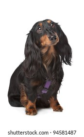 black and tan miniature dachshund in front of a white background